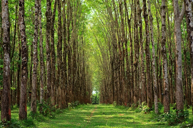 Para plantation d'hévéas