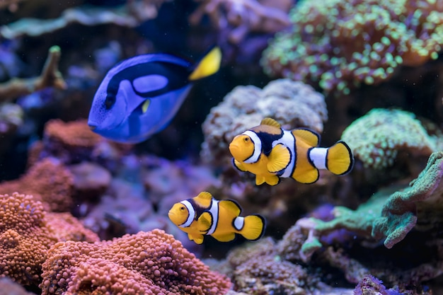 Paracanthurus hepatus, blue tang, amphiprion percula, poisson de mer rouge, dans l'aquarium de récifs coralliens d'accueil.