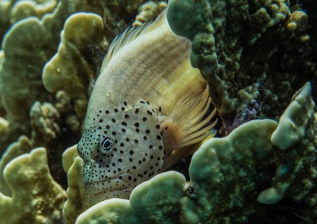 Paracirrhites forsteri blackside hawkfishforsters hawkfish