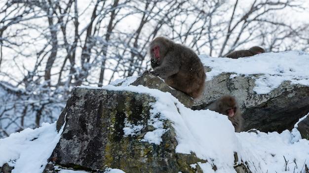 Le parc aux singes de jigokudani offre aux visiteurs l'expérience de voir des singes des neiges japonais sauvages manger de la faune. montagne enneigée que les macaques mangent en hiver.