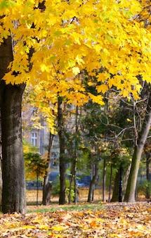 Parc municipal d'automne doré (avec un grand érable jaune à l'avant)
