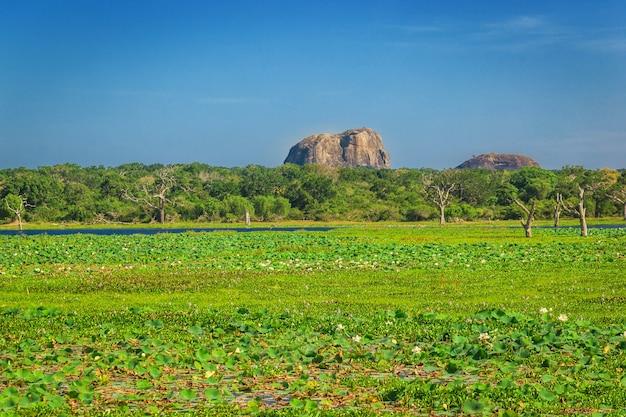 Parc national de yala, sri lanka, asie. belle route, lac et arbres centenaires. forêt au sri lanka, gros rocher de pierre en arrière-plan. journée d'été en pleine nature, vacances en asie.