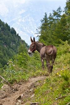 Parc d'orsiera, région du piémont, italie : un âne gratuit dans le parc