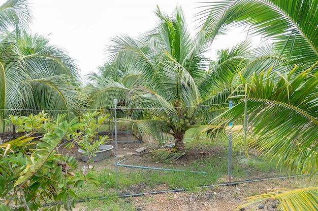 Parfum aromatique de noix de coco mais commencez à céder. une autre option pour les agriculteurs.