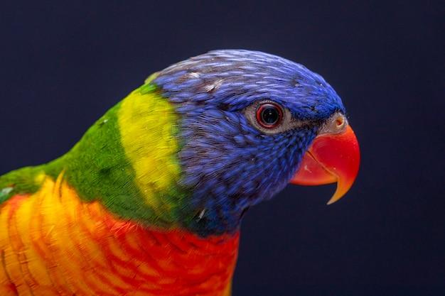 Parrot trichoglossus moluccanus sur perche en bois.