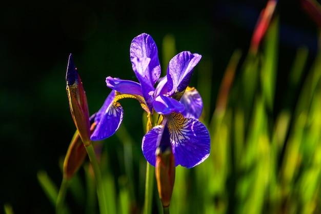 Parterre de fleurs aux iris violets