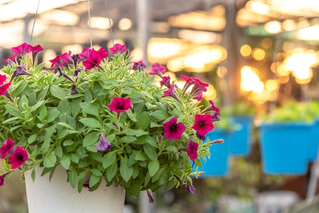 Parterre de fleurs aux pétunias multicolores