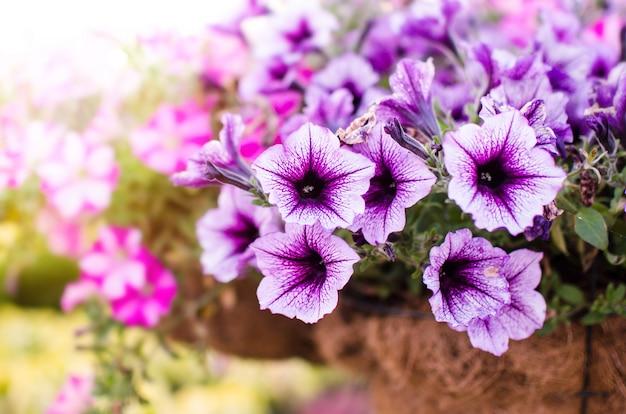 Parterre de fleurs avec des pétunias violets dans le pot