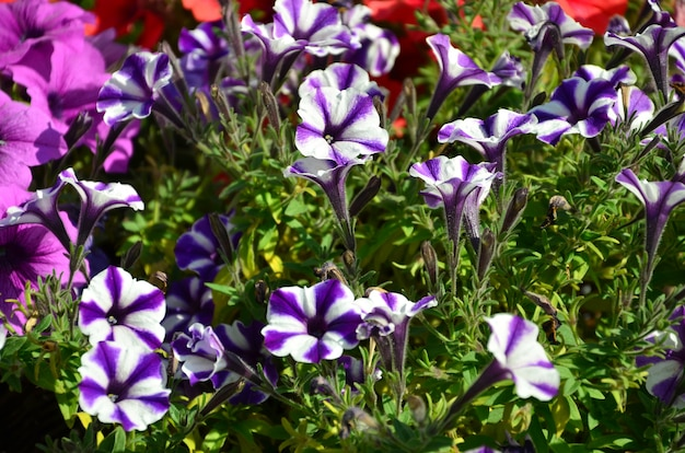 Parterre de fleurs avec des pétunias violets et violets multicolores.