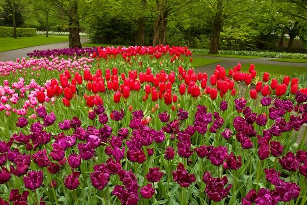 Parterre de fleurs de printemps coloré de tulipes dans le jardin de keukenhof, pays-bas
