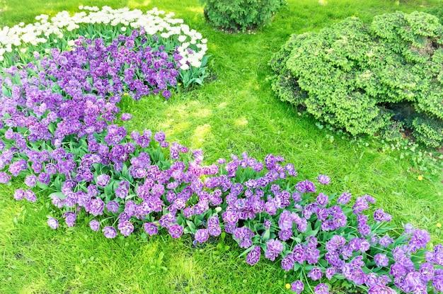 Parterre de fleurs de tulipes violettes et roses et d'herbe verte