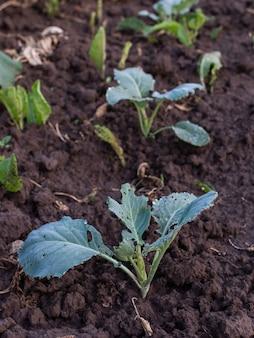 Parterres de jeunes feuilles de chou vert, jeunes légumes frais du jardin