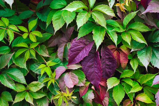 Parthenocissus colorfull leaves texture