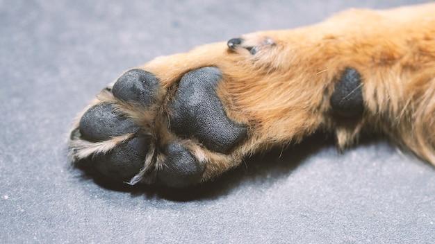 Une partie de chien avec un gros plan et des cheveux soyeux bruns jaunes à partir de l'angle de vue supérieur.
