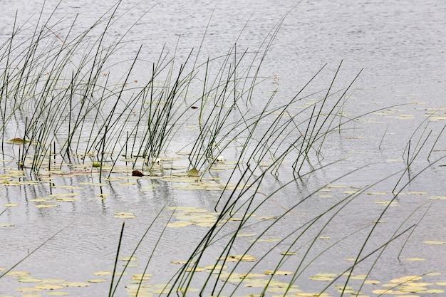 Une partie du lac avec de l'herbe et des nénuphars blancs dans la saison estivale, gros plan sur la rive