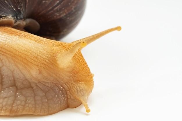 Partie d'un grand escargot terrestre sur fond blanc. animaux de compagnie inhabituels. cosmétologie et médecine non conventionnelles.