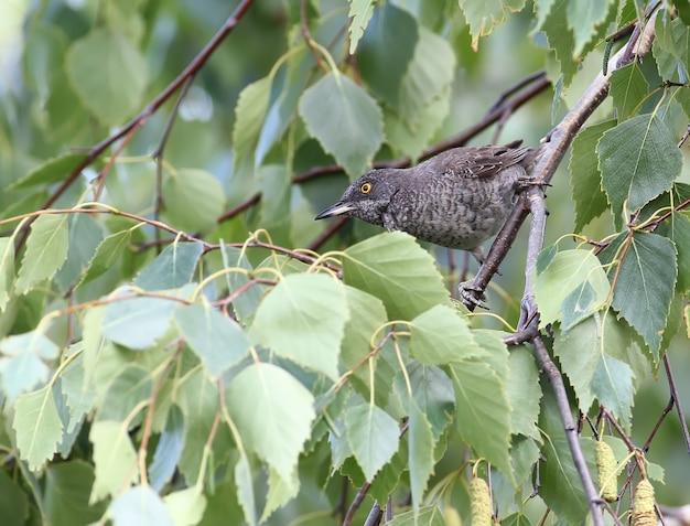La paruline barrée (sylvia nisoria) mâle sur l'arbre