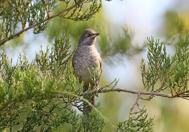 La paruline barrée (sylvia nisoria) mâle