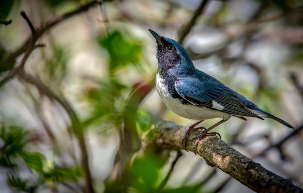 Paruline bleue à gorge noire (setophaga caerulescens)