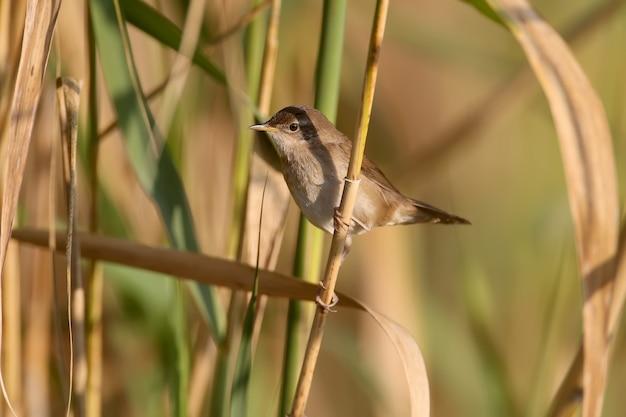 Paruline roseau (acrocephalus scirpaceus) en plumage d'hiver, gros plan dans l'habitat naturel pour l'identification