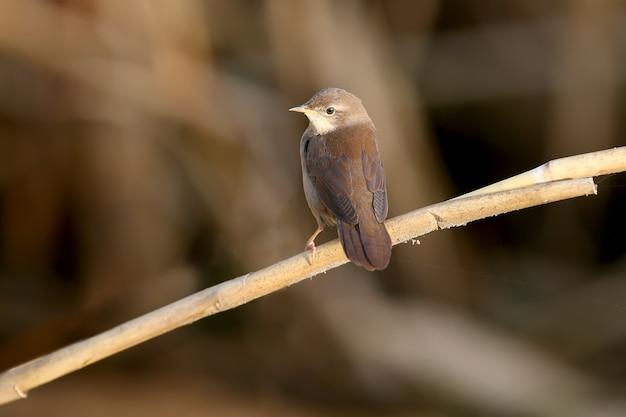 La paruline de savi (locustella luscinioides) en plumage d'hiver est photographiée en gros plan dans un habitat naturel dans diverses poses inhabituelles. l'identification est facile.