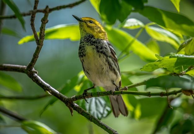 Paruline verte à gorge noire (setophaga virens)