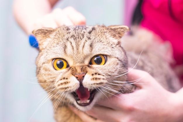 Pas un chat heureux dans le salon pour animaux de compagnie. toilettage de chats dans un salon de beauté pour animaux de compagnie. le maître peigne les cheveux en excès. mue express