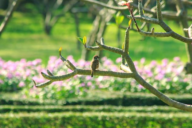 Passer montanus est sur la branche de l'arbre.