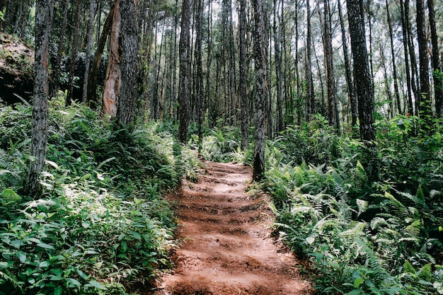 Passerelle dans la forêt de pins