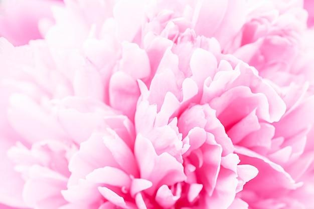 Pastel défocalisé, macro de pétales de dahlia rose, fond abstrait floral. gros dahlia fleur pour le fond, flou artistique.