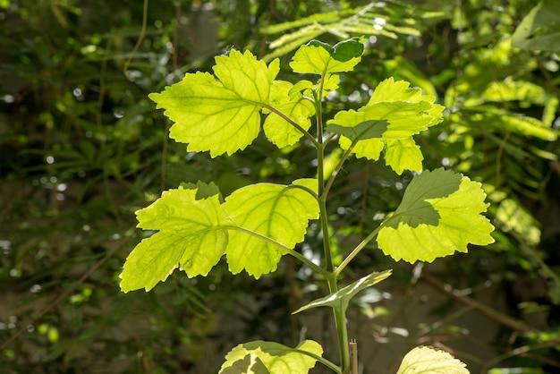 Patchouli et feuilles vertes sur fond naturel.
