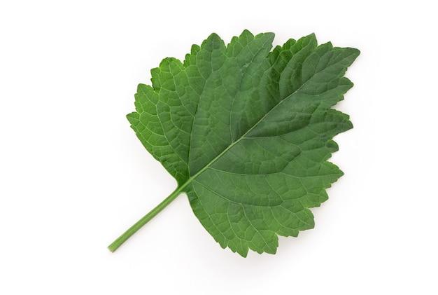 Patchouli ou pogostemon cablin benth, feuille verte isolée sur blanc avec chemin de détourage.vue de dessus, pose à plat.