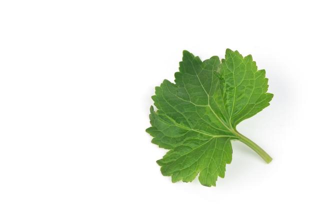 Patchouli ou pogostemon cablin benth, feuilles vertes isolées sur fond blanc.
