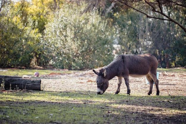 Le pâturage des ânes