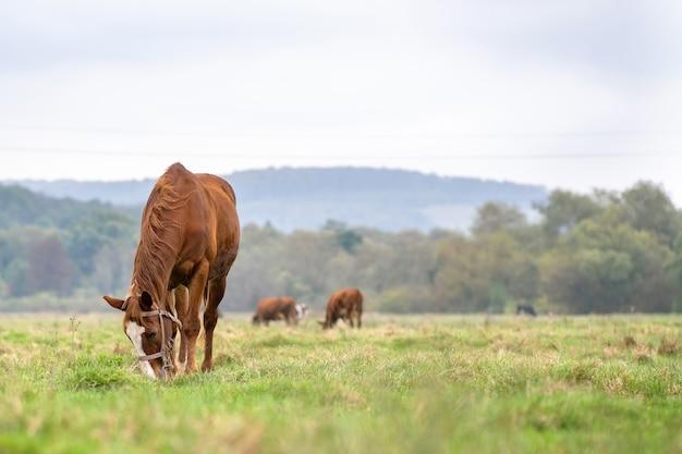 Le pâturage des chevaux de châtaigne dans le champ d'été