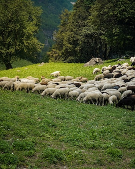 Le pâturage du bétail dans les champs verts