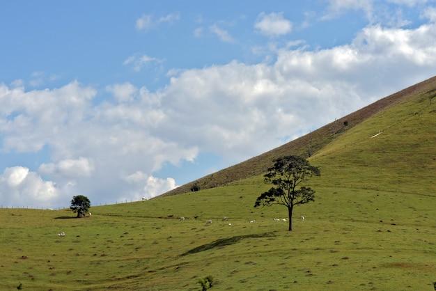 Le pâturage du bétail nelore au sommet de la colline verte avec ciel bleu et nuages