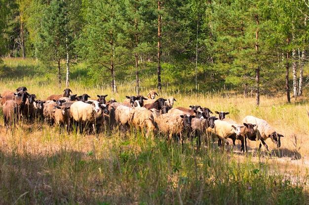Le pâturage des moutons sur un pâturage dans un champ. les moutons sont noirs et bruns