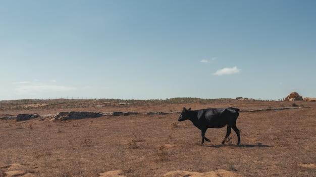 Le pâturage des vaches maigres au sommet d'une montagne