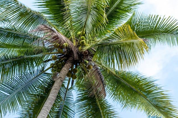 Paume pleine de noix de coco sur la plage maldivienne