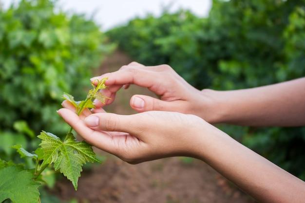 Paumes ouvertes femelles recherchant une jeune tige de raisin aux feuilles vertes