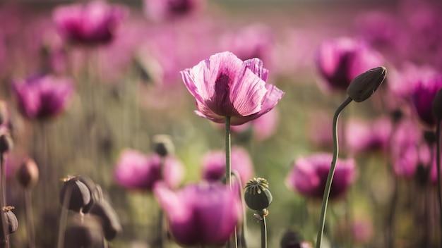 Pavot lilas fleurs au soleil en début d'été