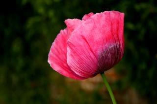 Pavot à opium