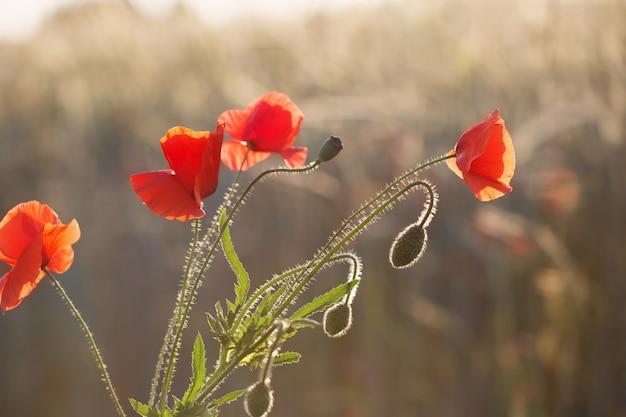 Pavot rouge sur champ ensoleillé
