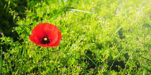 Pavot rouge dans un champ entre l'herbe verte