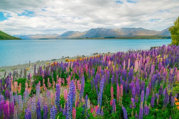 Paysage au champ de lupin du lac tekapo en nouvelle-zélande