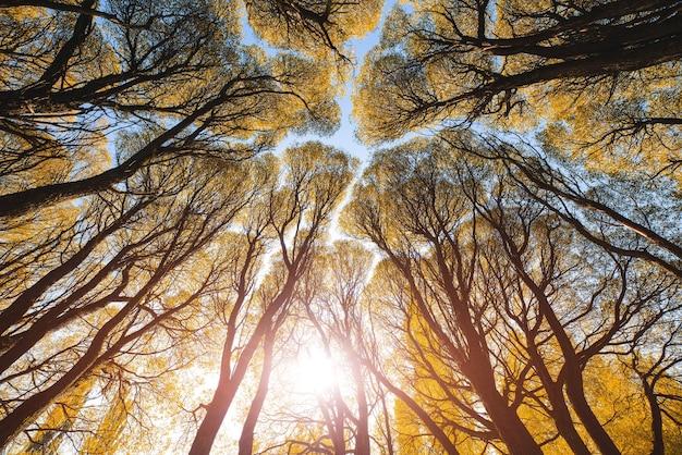 Paysage d'automne atmosphérique. une vue de bas en haut des couronnes des branches des arbres d'automne jaunes. contexte de la cime de la forêt.