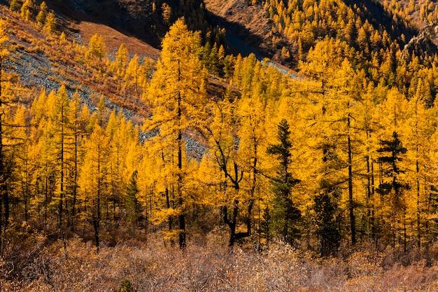 Paysage d'automne dans les montagnes avec des mélèzes dorés. canada.
