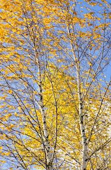Paysage d'automne avec feuillage de bouleau jaune-doré brillant contre un ciel bleu, nature naturelle