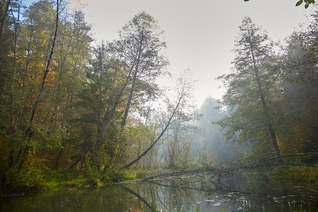 Paysage d'automne - forêt du matin avec feuillage jaune et rivière marécageuse calme